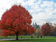 Maple tree at the Great Lawn in Central Park.