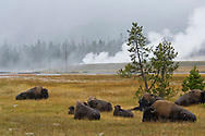 American Bison Buffalo herd at Buscuit Basin, Yellowstone National Park, Wyoming