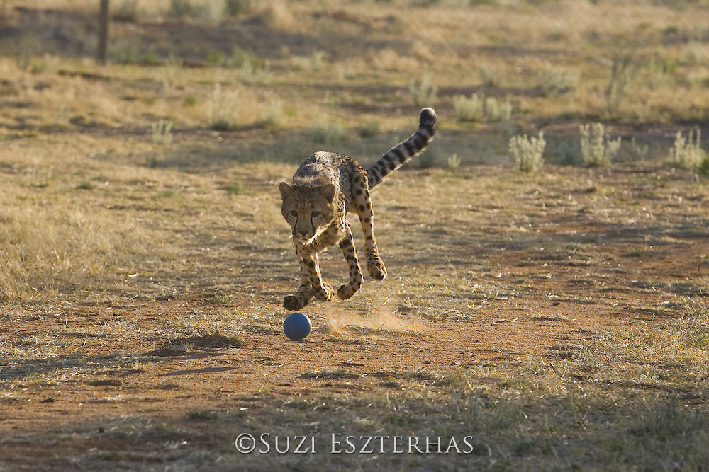 Kanini (10 month old female cheetah rescued from a trap on a livestock farm) chasing after ball<br /> Acinonyx jubatus<br /> Cheetah Conservation Fund, Namibia<br /> *Captive