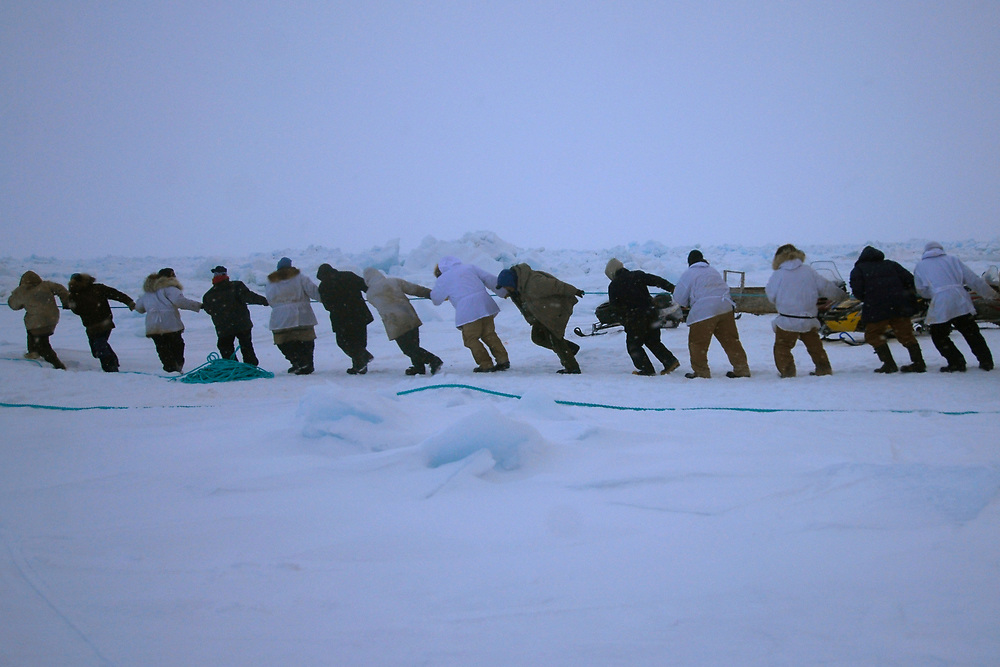 Barrow, Alaska. After Simmeon Patkotak Crew got a whale, the crewmembers start to lift it up on the ice. It takes many people to pull a whale up on the ice. It is a community effort. May 2007.