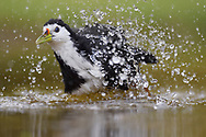 White-breasted waterhen, Amaurornis phoenicurus, shaking of water in Keoladeo Ghana National Park, Bharatpur, Rajasthan, India
