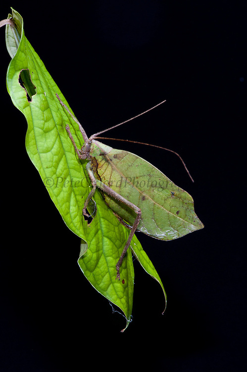 Green leaf Katydid (Cycloptera sp.)<br /> Yasuni National Park, Amazon Rainforest<br /> ECUADOR. South America