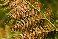 Adelaarsvarenfamilie, Dennstaedtiaceae