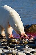 01874-12812 Polar bear (Ursus maritimus) eating Ringed Seal (Phoca hispida)  in winter, Churchill Wildlife Management Area, Churchill, MB Canada