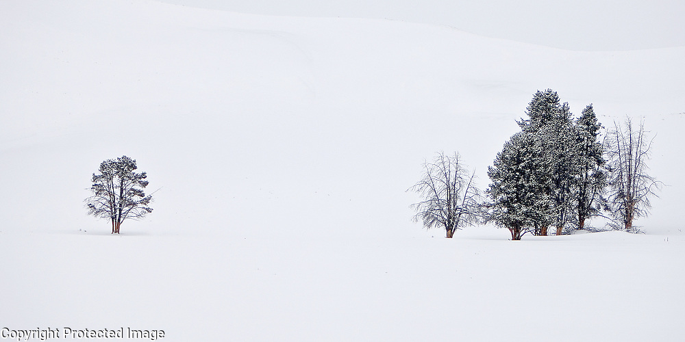 These trees were photographed in Yellowstone National Park in the middle of winter.