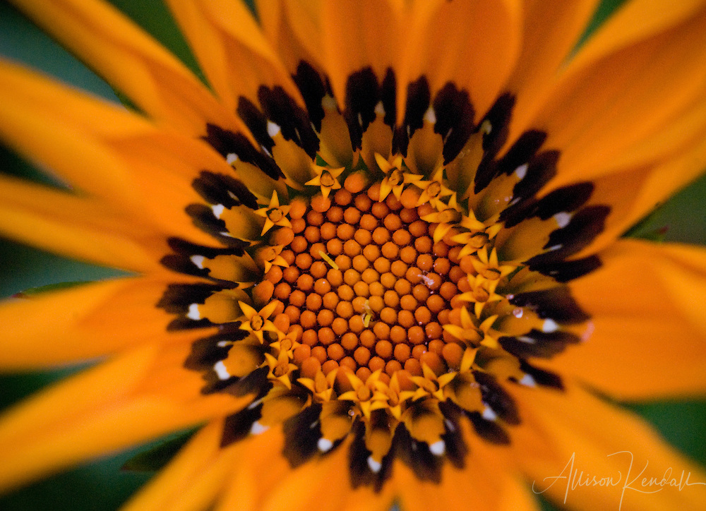Petals radiate from the textured center of an orange gazania