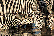 Burchell's zebra (Equus burchelli) large herbivore living in open plains.  MOTHER AND BABY. Linyanti and Savuti areas. BOTSWANA. Southern Africa.<br /> Their upper and lower incisors make them the only grazers to be able to chew off long and coarse grass rather than tearing off softer and shorter grass. They are water dependent so usually come to a water sourse at least once per day. These diurnal animals weight up to 300kgs and have one foal per year. Impressive annual migrations occur every year between their winter and summer feeding grounds.
