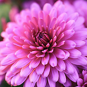 """""""Mums the Word""""<br /> <br /> Beautiful purple and pink fall Mums! <br /> <br /> Flowers and Wildflowers by Rachel Cohen"""