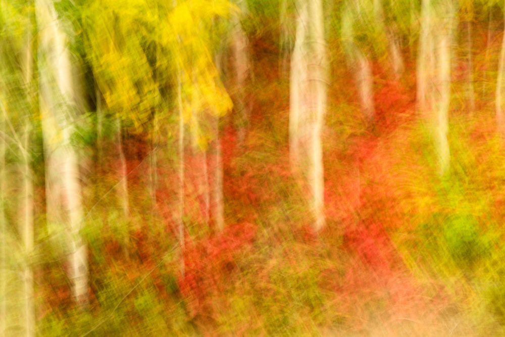Creative motion blur of fall foliage of Aspen trees and High Bush Cranberry in Eagle River in Southcentral Alaska. Autumn. Afternoon.