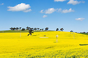 a field of flowering canola crop on rolling hills under blue sky and cumulus cloud near Junee, New South Wales, Australia. <br />