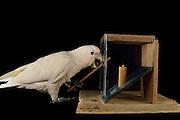 [captive] Goffin's cockatoo (Cacatua goffiniana). In this experiment, the cockatoo learns to use a tool. It needs to poke a treat (peanut) in a box using a stick until the treat falls out off the box. Handling of the stick requires coordination of foot and beak. Goffin's cockatoos or Tanimbar Corellas are endemic to the Tanimbar archipelago in Indonesia. Research on their cognitive abilities is done in the Goffin Lab (Lower Austria) by Dr. Alice M. I. Auersperg. Sequence 4/10. | Goffinkakadu (Cacatua goffiniana). In diesem Versuch muss der Goffinkakadu erlernen, mit einem Stock nach einer Belohnung (Erdnuss) zu stochern, um sie zum Rausfallen aus einer ansonsten unzugänglichen Box zu bringen. Die Handhabung des Stöckchens verlangt Koordination von Fuß und Schnabel. Der Kakadu lernt hierbei den Werkzeuggebrauch. Der Goffinkakadu ist eine Papageienart und kommt in freier Wildbahn ausschließlich auf der indonesischen Inselgruppe Tanimbar vor. Forschung zu kognitiven Fähigkeiten des Goffinkakadus wird im Goffin Lab (Niederösterreich) von Dr. Alice M. I. Auersperg durchgeführt. Sequenz 4/10.