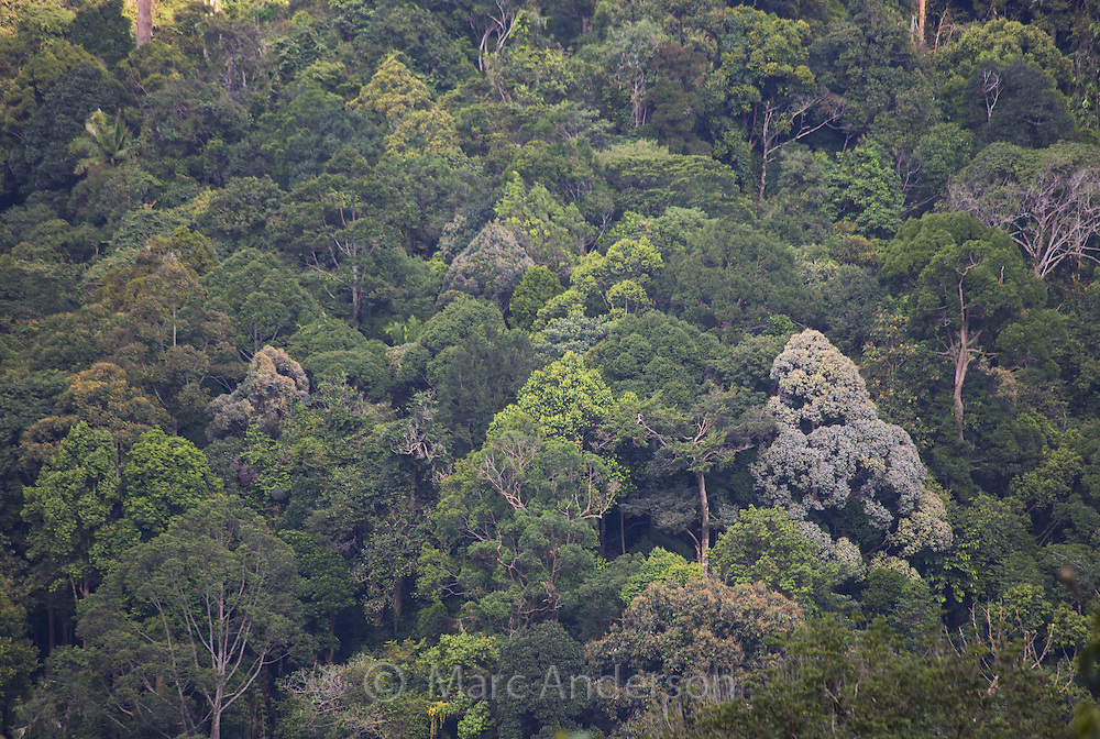 A wide variety of tree species growing in tropical rainforest, Fraser's Hill, Malaysia