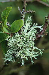 Lichen growing on a branch