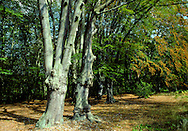 Hornbeam Woodland in Autumn, Epping Forest, UK