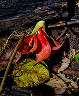 A walk through the lush jungle and limestone cliffs of Welchman Hall Gully, Barbados, a red flower lies fallen on the earth