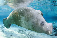 Florida manatee, Trichechus manatus latirostris, a subspecies of the West Indian manatee, endangered. An adult manatee swims on its side by a warm blue freshwater springhead. Horizontal orientation with blue water and sun rays. Three Sisters Springs, Crystal River National Wildlife Refuge, Kings Bay, Crystal River, Citrus County, Florida USA.