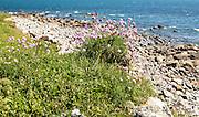 Armeria maritima, sea thrift, in flower, Lowland Point, Lizard Peninsula, Cornwall, England, UKg