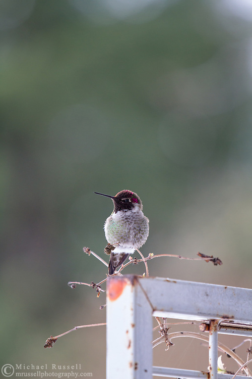 A Male Anna's Hummingbird (Calypte anna) perched next to a winter feeder in a Fraser Valley, British Columbia garden.