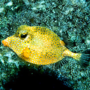Smooth Trunkfish swim above and around reefs Tropical West Atlantic; picture taken Flower Garden Banks, Gulf of Mexico.