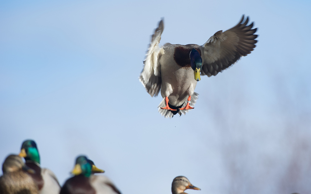 A banded drake mallard prepares to land in a group of ducks.