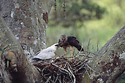 Crested Eagles on Nest (Female feeding Young)<br />