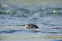 Juvenile Otter swimming in River Tweed,<br /> Lutra lutra,<br /> Scotland - March