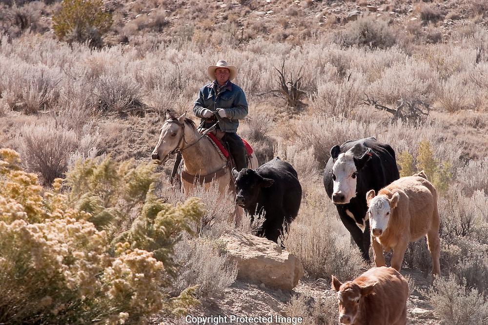Cowboys, on horseback, moving cattle to new range, near Tropic, Utah