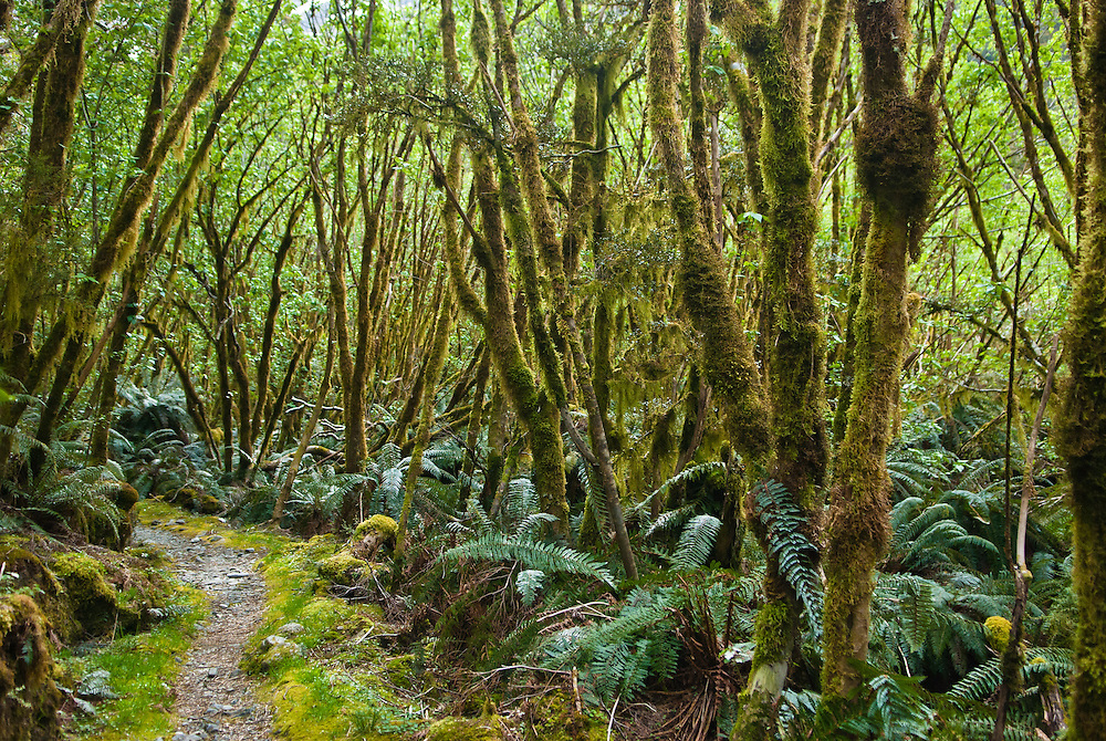 Young moss-covered trees and ferns line the trail through the Clinton Canyon, Milford Track, Fiordland, New Zealand