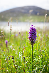 Common Spotted Orchid, Harris, Outer Hebrides. Dactylorhiza fuchsii subsp. fuchsii