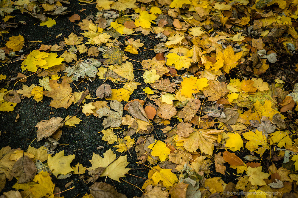 Autumn in Ireland, 2012: Leaves decay on a path as Autumn turns to Winter