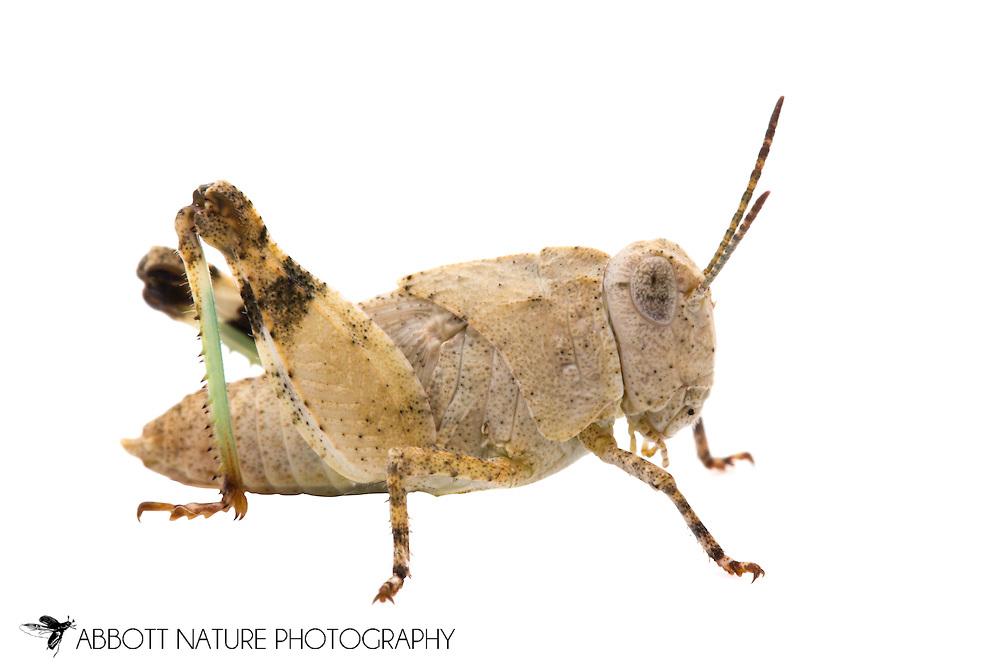 Wheeler's Blue-winged Grasshopper (Leprus wheeleri) - nymph<br /> TEXAS: Edwards County<br /> off C.R. 24; Camp Wood, 6 km NW<br /> 29-May-2012<br /> J.C. Abbott &amp; K.K. Abbott