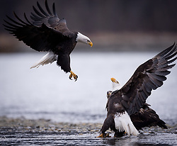 Bald eagles (Haliaeetus leucocephalus) fight over a salmon carcass along the Chilkat River in the Alaska Chilkat Bald Eagle Preserve near Haines, Alaska. During late fall, bald eagles congregate along the Chilkat River to feed on salmon. This gathering of bald eagles in the Alaska Chilkat Bald Eagle Preserve is believed to be one of the largest gatherings of bald eagles in the world.