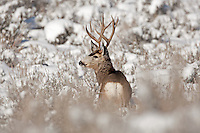 2017 in the northern Utah mountains Mule Deer are now contending with deep snow and below zero temps only the strongest will make it to spring.