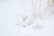 01863-01411 Two Arctic Foxes (Alopex lagopus) in snow Chuchill Wildlife Mangaement Area, Churchill, MB Canada