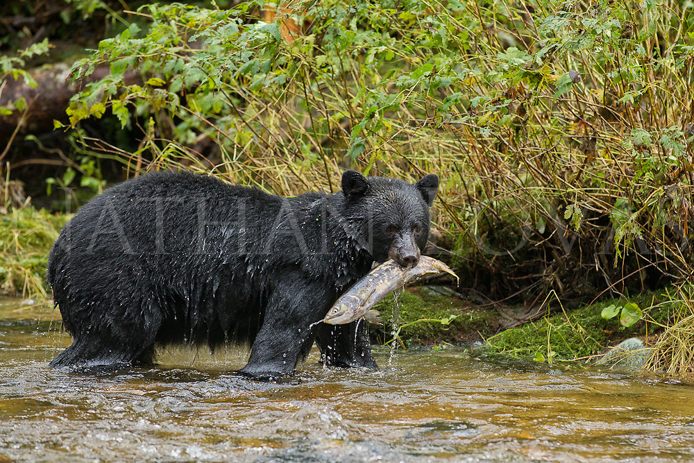 Black bear with salmon in mouth;  British Columbia in wild.