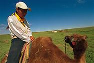 Mongolei, MNG, 2003: Kamel (Camelus bactrianus). Zufälliges Zusammentreffen mit einer jungen Frau, die auf einem Kamel durch die südliche Wüste Gobi reitet. Sie trägt westliche Kleidung und eine gelbe Gesichtsmaske als Sonnenschutz, damit ihr Gesicht nicht so verbrannt wird wie das ihrer Eltern und Großeltern. | Mongolia, MNG, 2003: Camel, Camelus bactrianus, meeting by chance of a young women riding on a camel through the Gobi, wearing western cloth, she pulled down her face mask which she is wearing to protect sher skin of burning that dark like her parents and grandparents have,  South Gobi. |