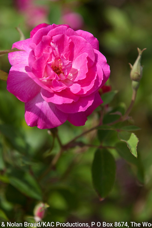 """Rose, Rosa 'VINCENT GODSIFF', at the Antique Rose Emporium Gardens near Indpendence, Texas. This is an antique rose, called a """"Bermuda Mystery Rose."""""""