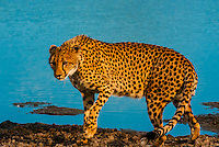 Cheetah walking, near Kwara Camp, Okavango Delta, Botswana.