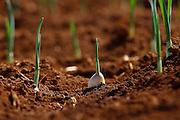 Sao Gotardo_MG, 27 de maio de 2015<br /> <br /> Fotos dos produtores de alho na regiao de sao gotardo.<br /> <br /> Foto: MARCUS DESIMONI / NITRO