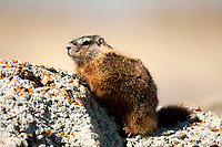 The Yellow Bellied Marmot can weigh anywhere from Five pounds to Eleven pounds as an adult.