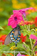 03004-01001 Pipevine Swallowtail (Battus philenor) on Red Spread Lantana (Lantana camara) in butterfly garden, Marion Co.  IL