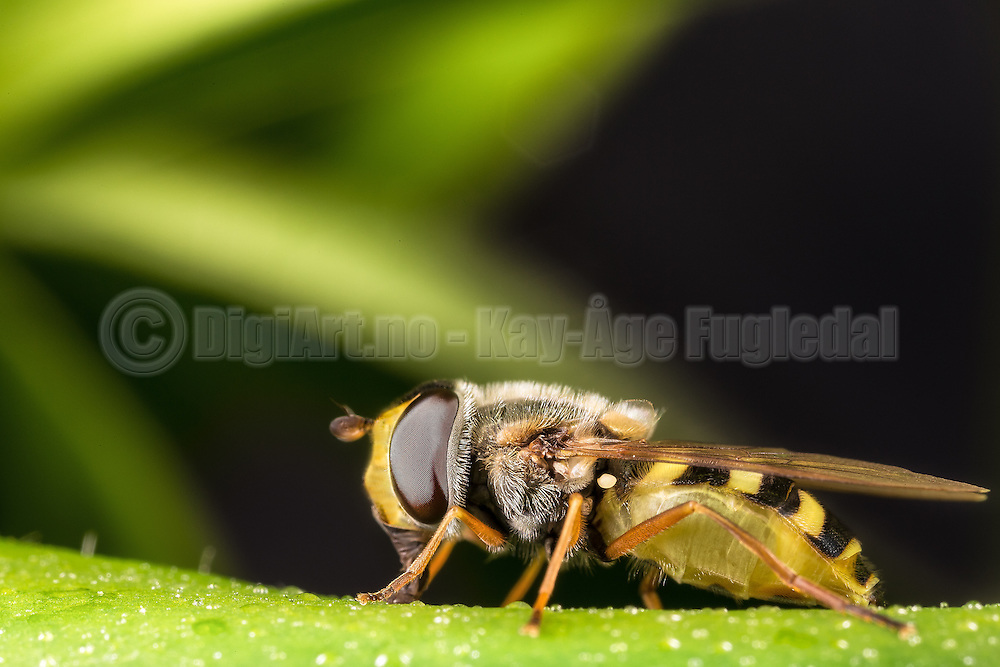 Closeup picture of Hoverflie sitting on a green flower | Nærbilde av en Blomsterflue som sitter på en grønn blomst