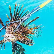 The best way to cull lionfish today is to spear them one by one.