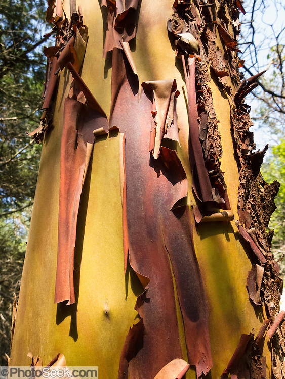 Red bark of the Pacific Madrone or Madrona (Arbutus menziesii) peals in a pattern to reveal a new yellow-orange layer, on Vendovi Island, Skagit County, Washington, USA. Vendovi Island was named after a Fijian High Chief Ro Veidovi who was brought to North America by the 1841 Wilkes Expedition. The San Juan Preservation Trust, a land trust for conservation in the San Juan Islands, purchased the island in December 2010 from the family of John Fluke Sr. Vendovi Island lies across Samish Bay from mainland Skagit County, between Guemes Island and Lummi Island, in the Salish Sea.