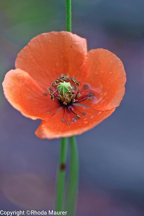 poppy after a rain