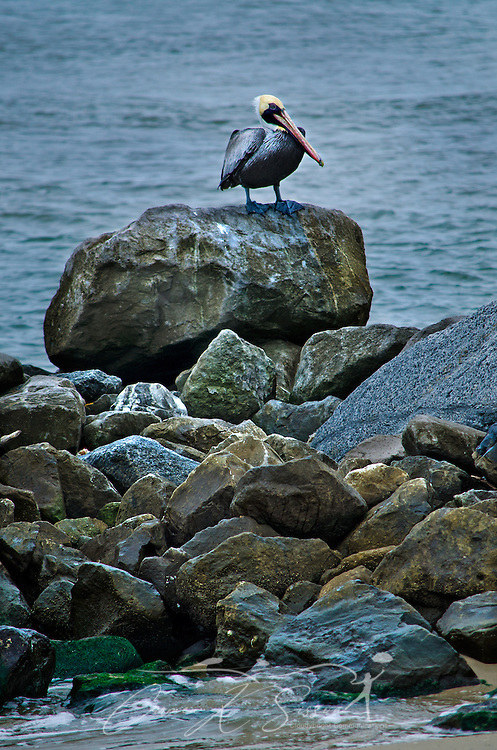 A brown pelican perches on a rock on Dauphin Island, Alabama. Brown pelicans were removed from Alabama and Florida's endangered species list in 1985 after the U.S. banned the use of DDT pesticide, which made pelican eggs' shells too thin and was partially responsible for decimating the species. (Photo by Carmen K. Sisson/Cloudybright)