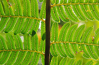 A close-up detail of a fern at the Babinda Boulders, far north Queensland, Australia