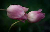 A Pair of Delicate Tulips bent by the morning rain gently touch.
