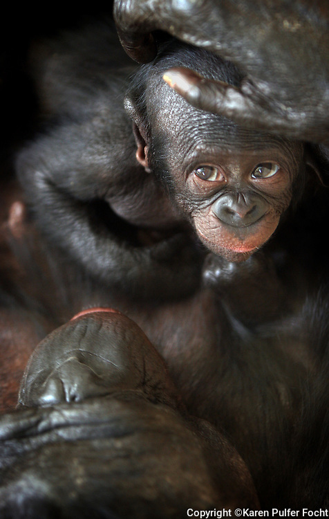 """20 Sept 05 (kpbono) by Karen Pulfer Focht: """"Sukari"""" (which means """"Sugar"""" in Swahili) gets groomed by her mother, Kiri, a Bonobo at the Memphis Zoo on Tuesday. The baby was born Aug. 2nd. The Bonobos are very rare, they are the rarest of the great apes. Zoo officials say that the baby was concieved naturally and that the mother has very good mothering skills. The leading expert on Bonobo's conservation, Claudine Andre, will be speaking at the zoo on Oct. 4th. She has a Bonobo sancuary and orphanage. The animals are threatened because they are hunted and they are losing their habitat."""