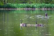 A pair of Canada Geese (Branta canadensis) escort their goslings across McLean Pond at Campbell Valley Park in Langley, British Columbia, Canada